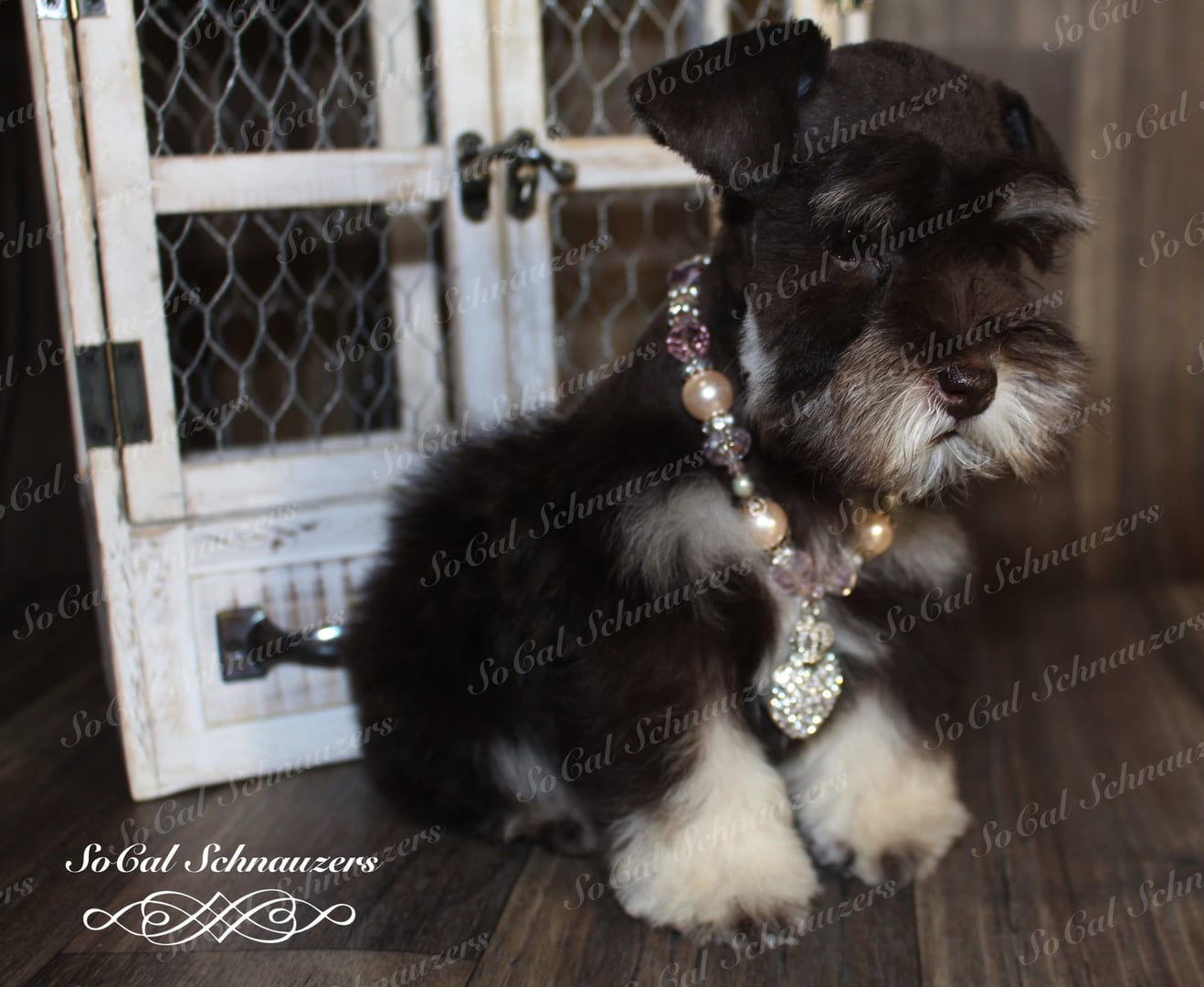 Black and white schnauzer with purple and yellow beaded necklace
