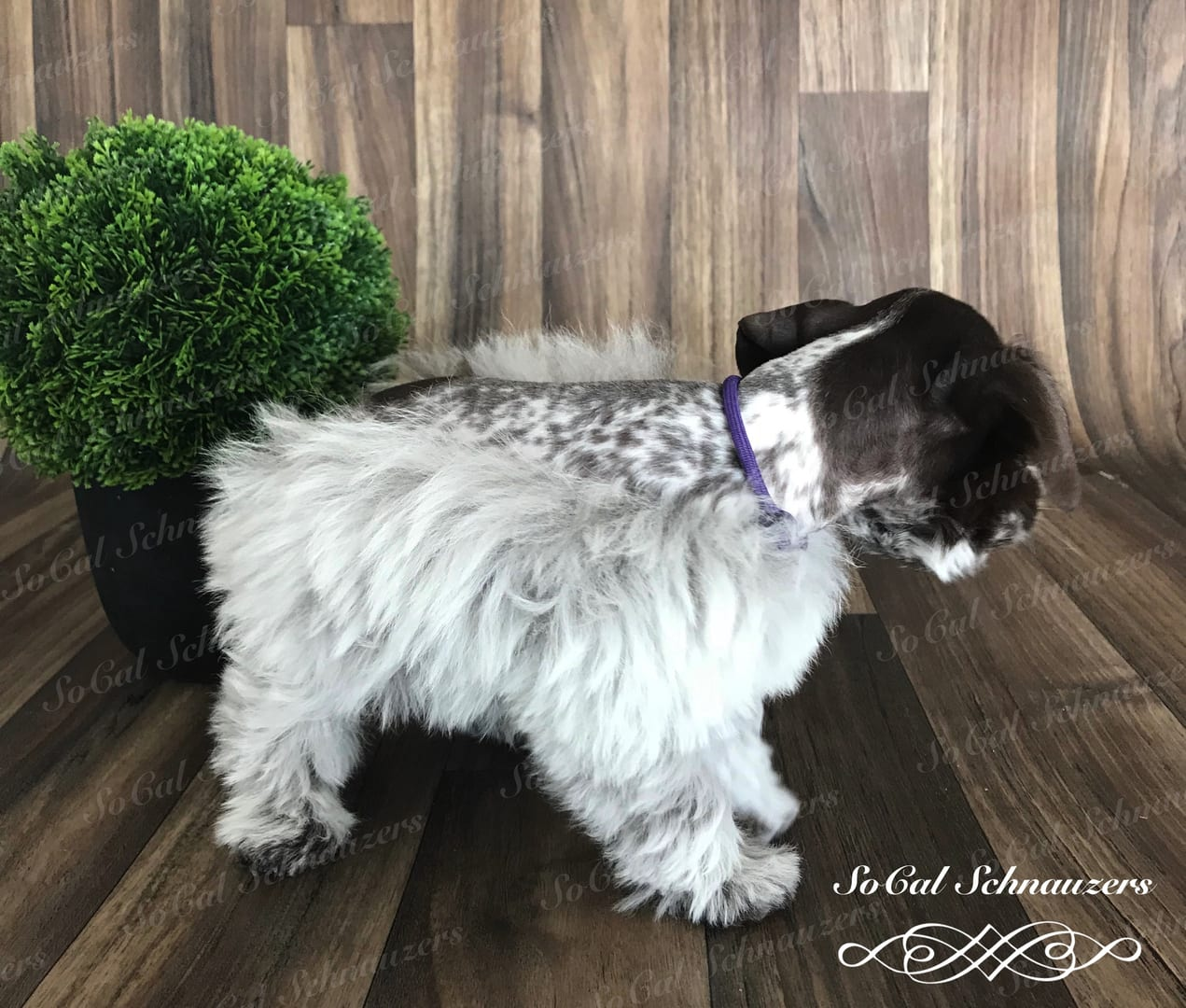 Black and white speckled schnauzer with plant behind it