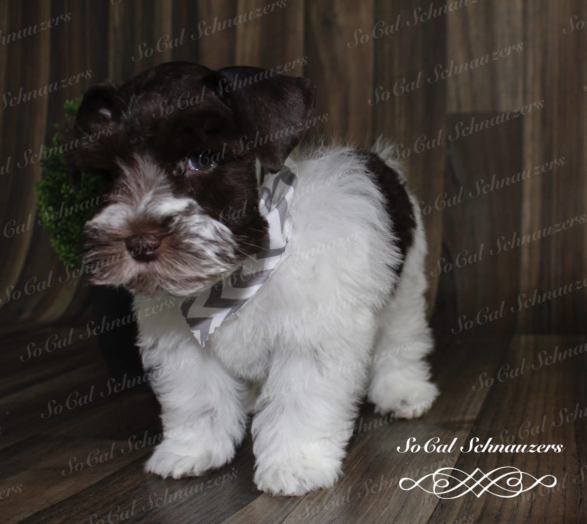 white and brown schnauzer with a chevron patterned kerchief