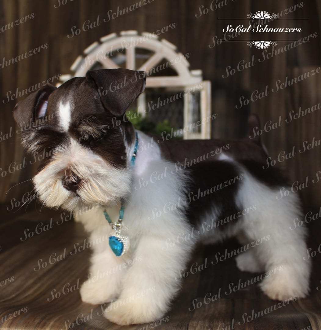 white and brown schnauzer with blue necklace and charm