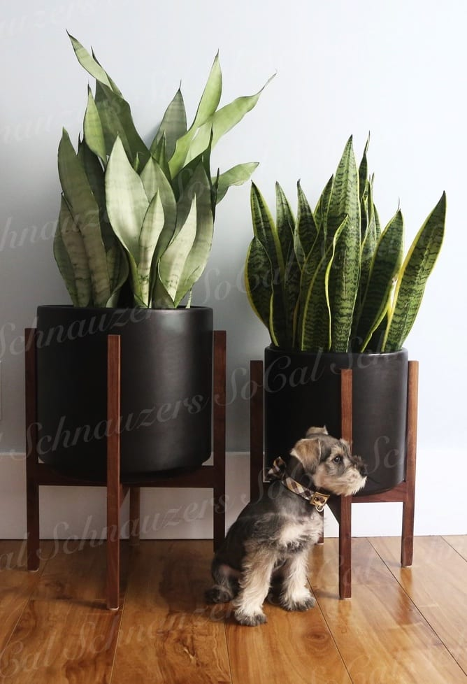Miniature Schnauzer in room with large potted plants