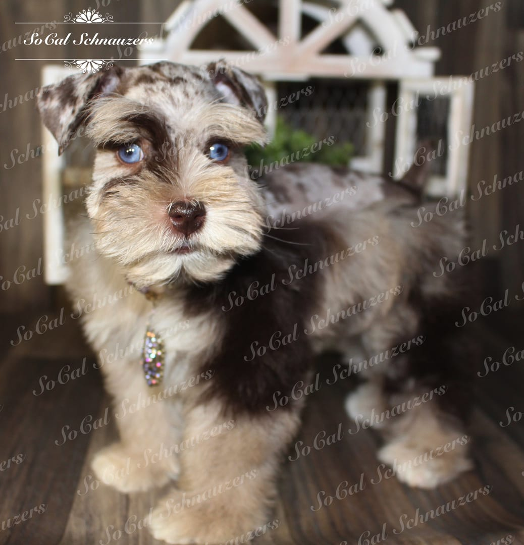 Miniature schnauzer with white and brown fur with blue eyes and necklace