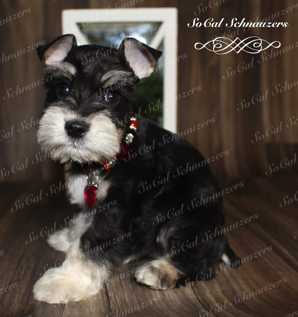 Black and white mini schnauzer with red and black necklace