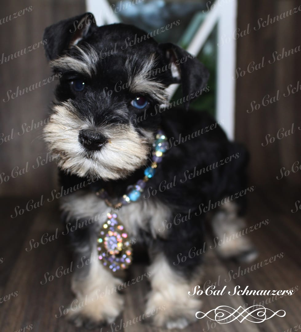 Black and white schnauzer with gold and blue beads