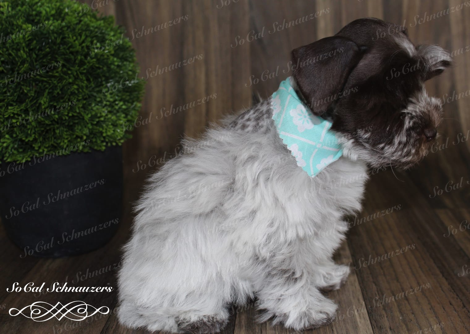 White and brown puppy with mint scarf