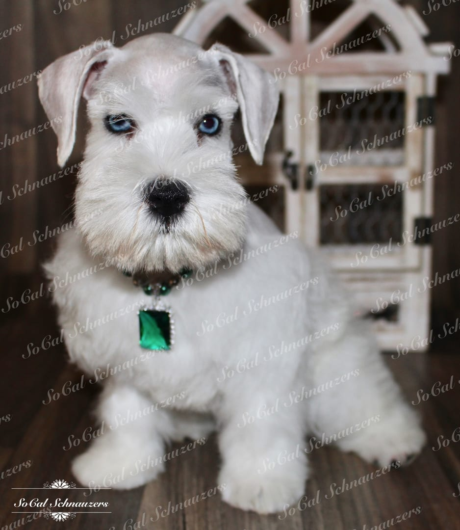 White Schnauzer with blue eyes and emerald green necklace