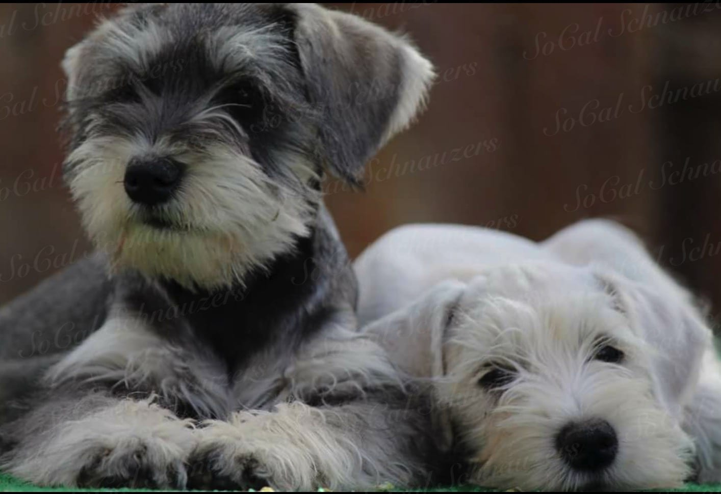 Two schnauzers next to each other