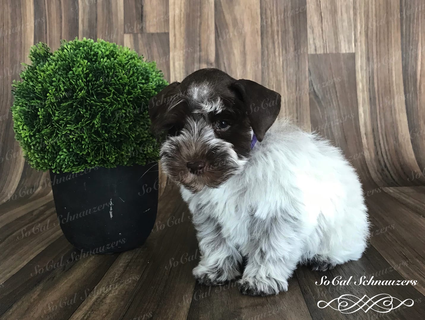 white and brown schnauzer with purple collar