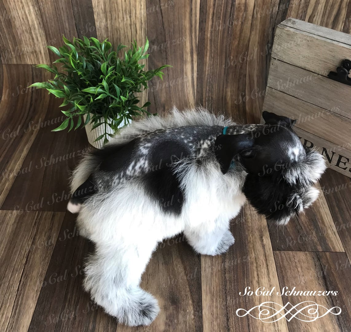 Black and white patterned schnauzer with small houseplant