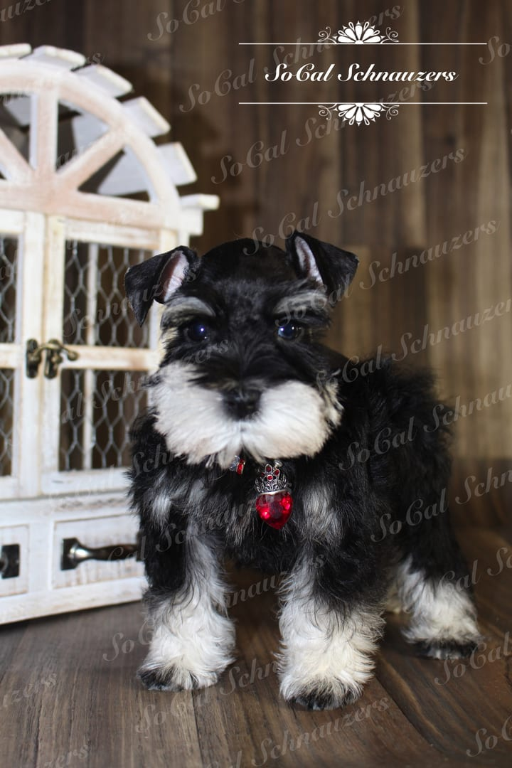 black and white schnauzer with red necklace and tiny wooden cabinet