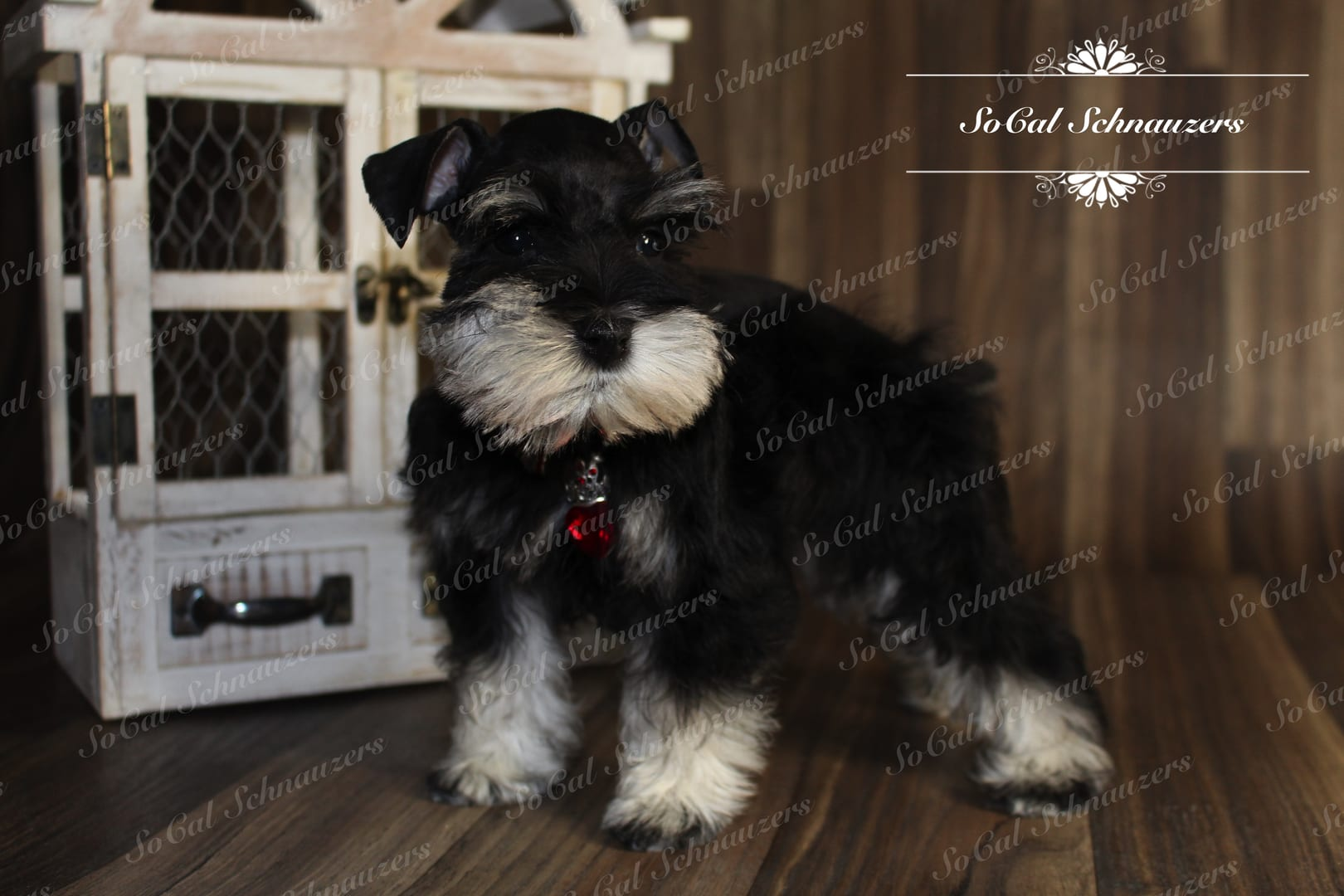 black and white schnauzer with red necklace