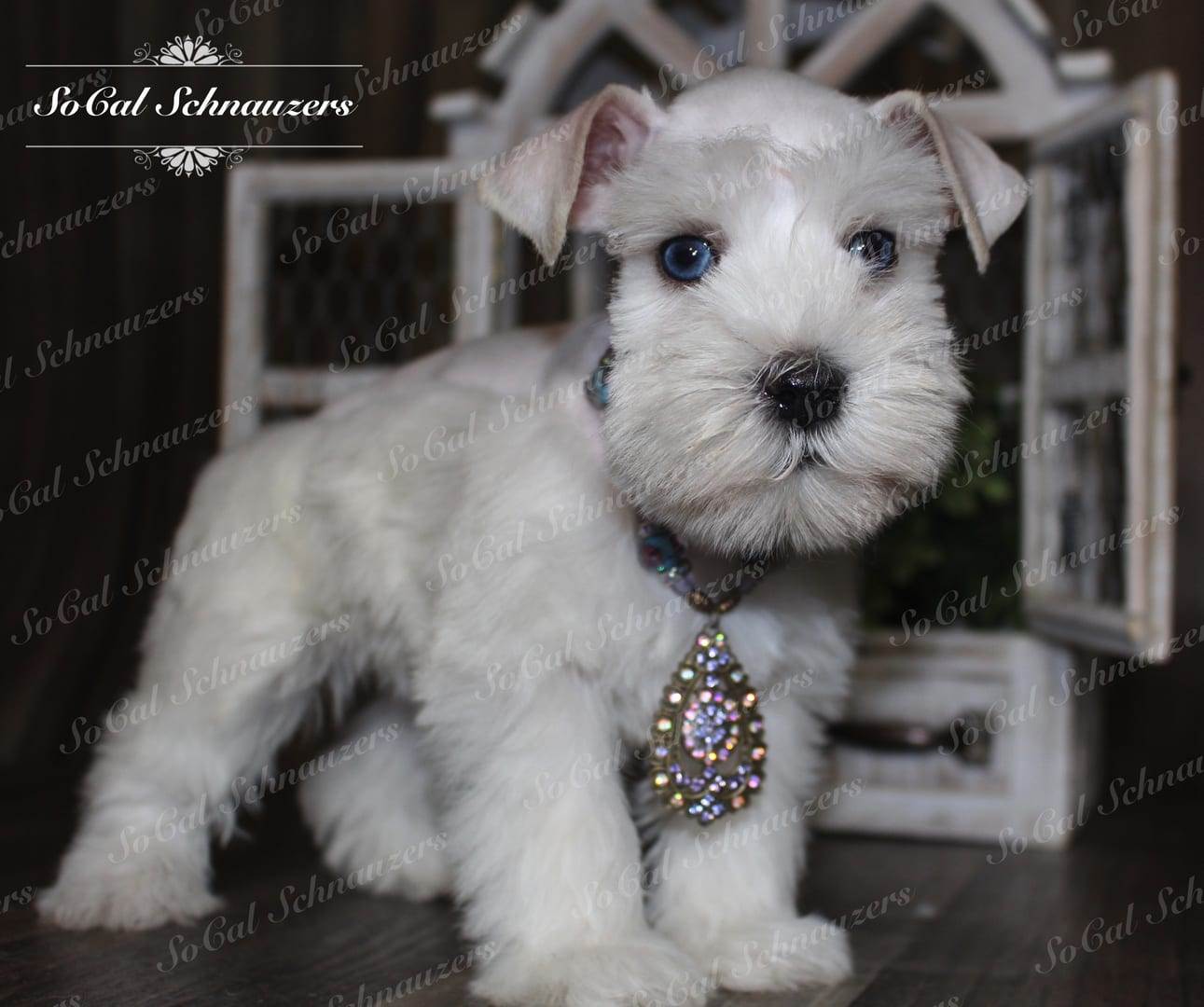White mini schnauzer with necklace and beaded charm