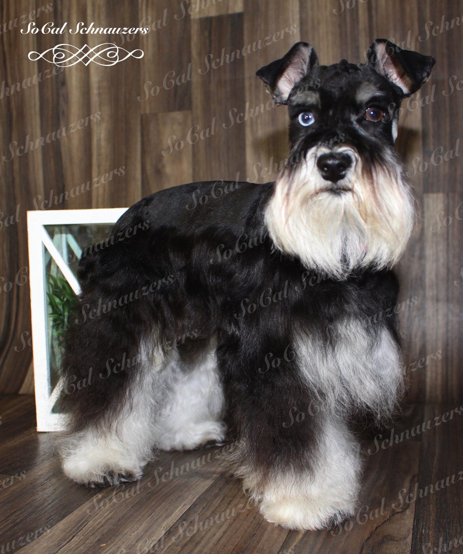 Very fluffy schnauzer with heterochromia
