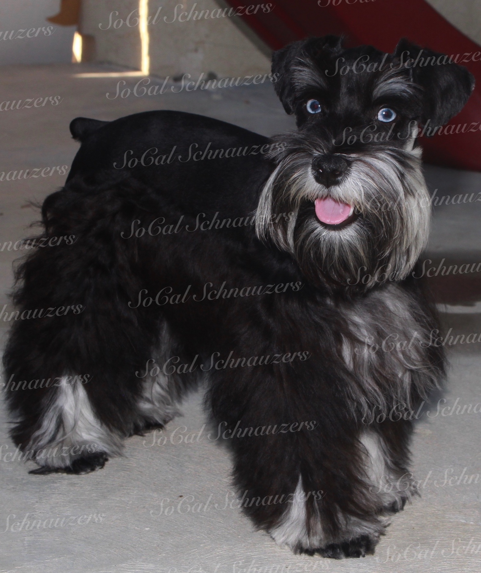 Black and white schnauzer with blue eyes tongue sticking out