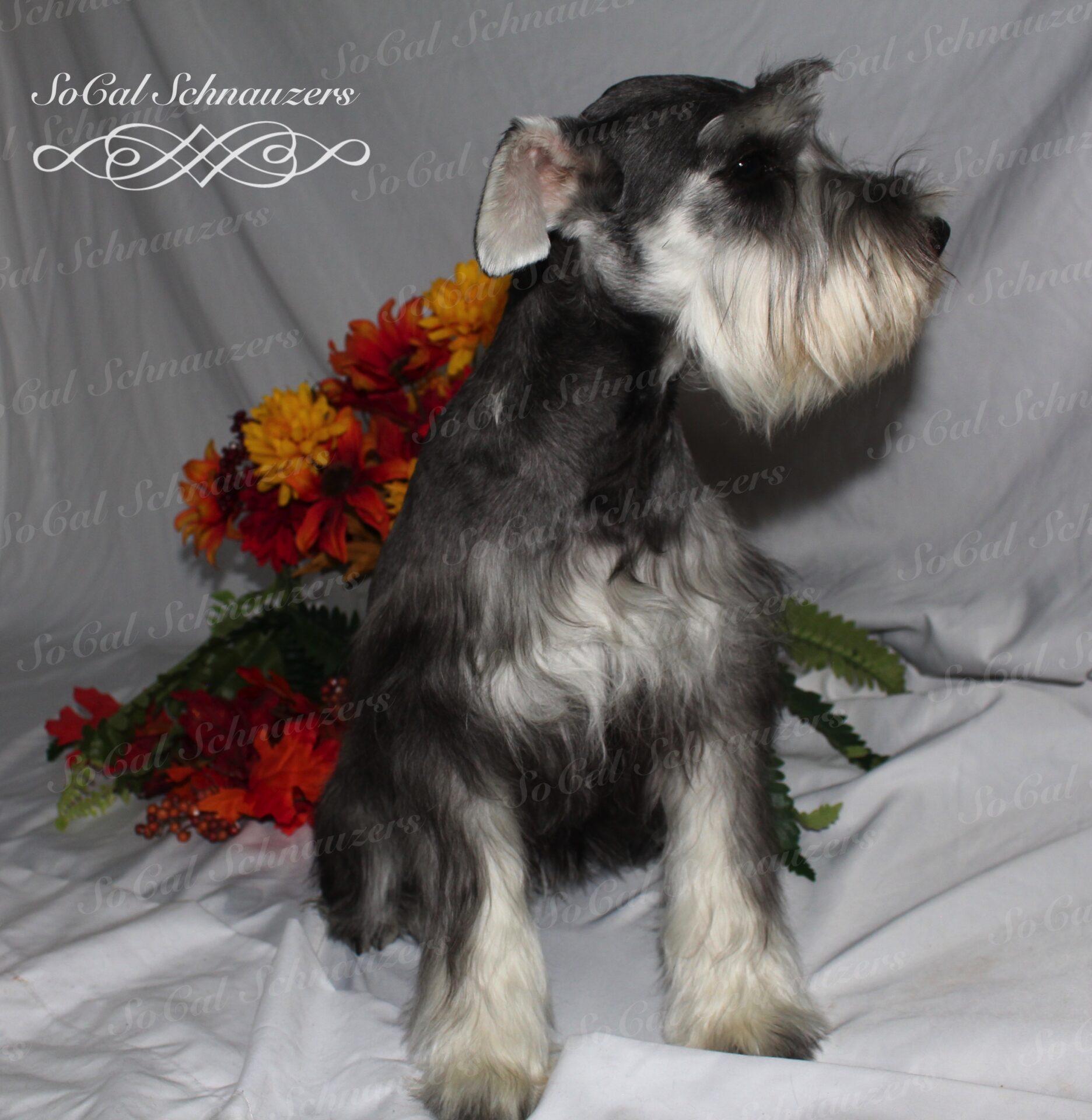 Watermark photo of schnauzer and flowers