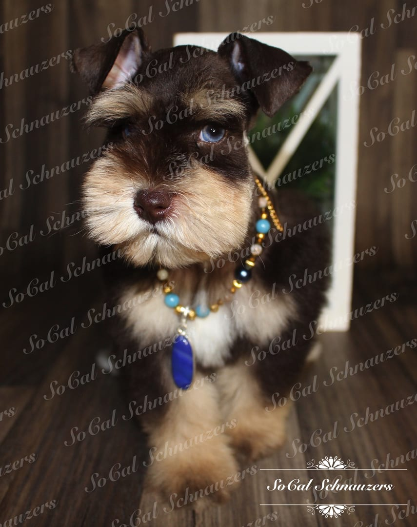Chocolate brown schnauzer with tan muzzle and paws with beaded necklace 1