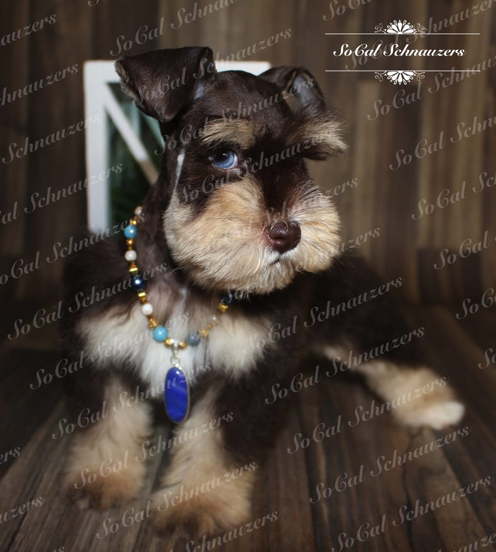 Chocolate brown schnauzer with tan muzzle and paws with beaded necklace