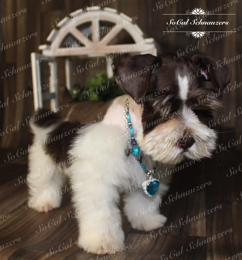 Brown and white Schnauzer with blue beaded necklace