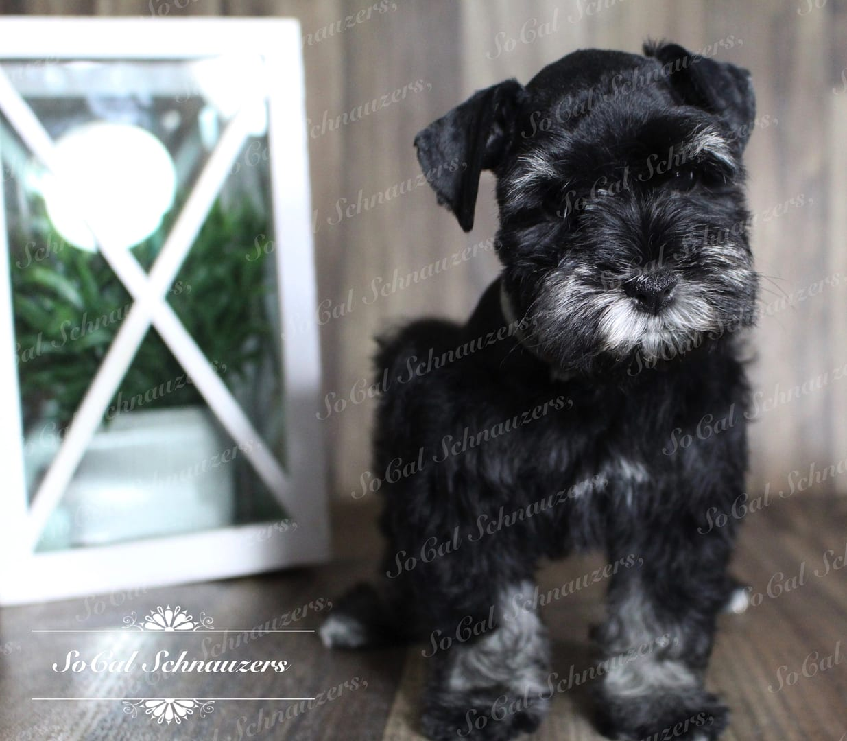 Miniature Schnauzer with mirror in the background