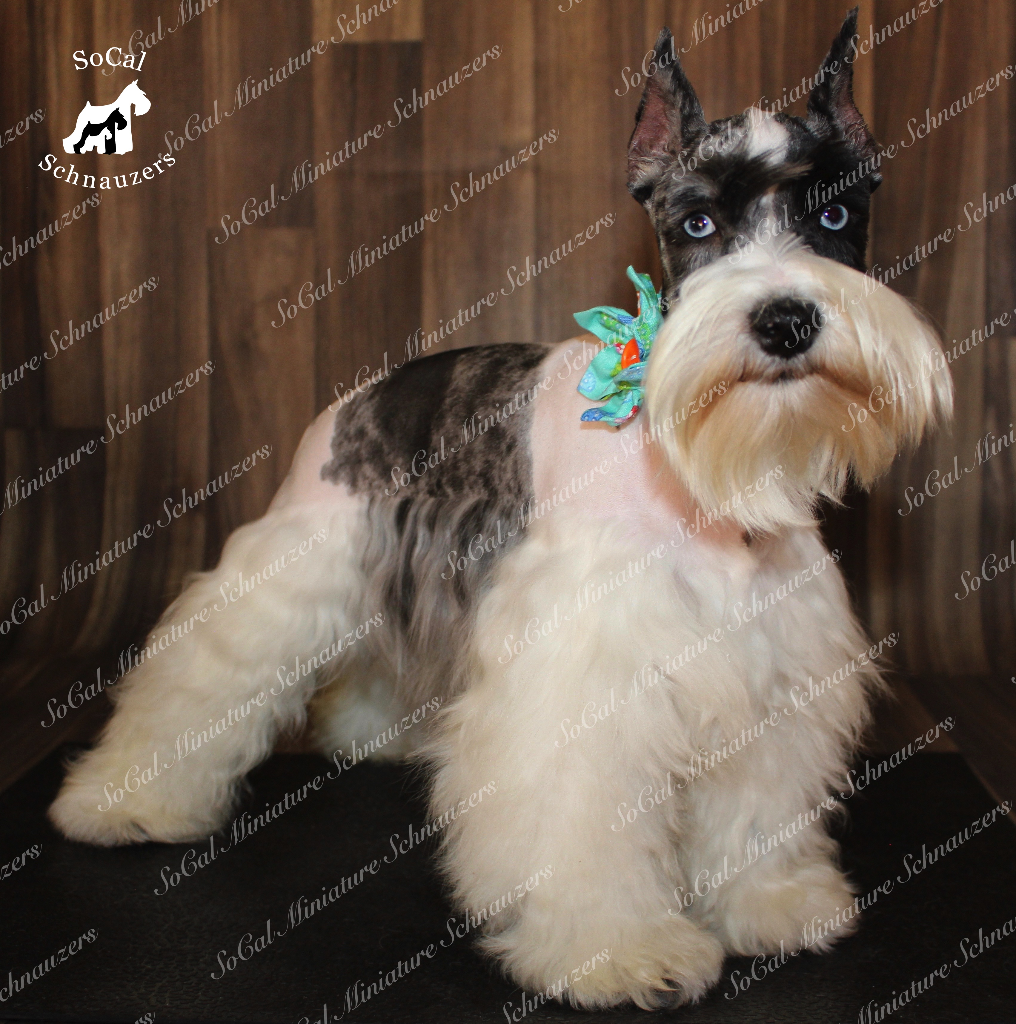 Fluffy schnauzer with white body and black middle