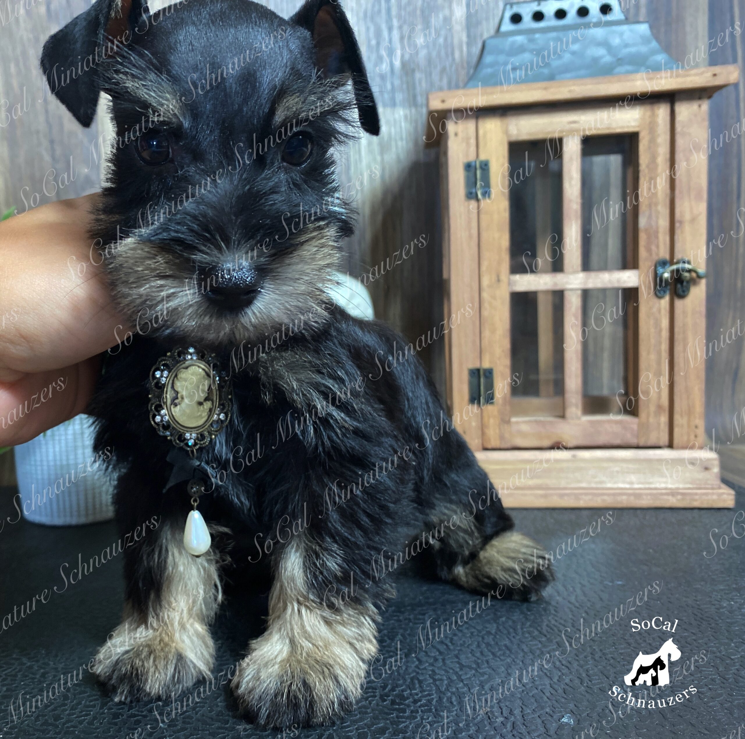 Small schnauzer with necklace and wooden lamp