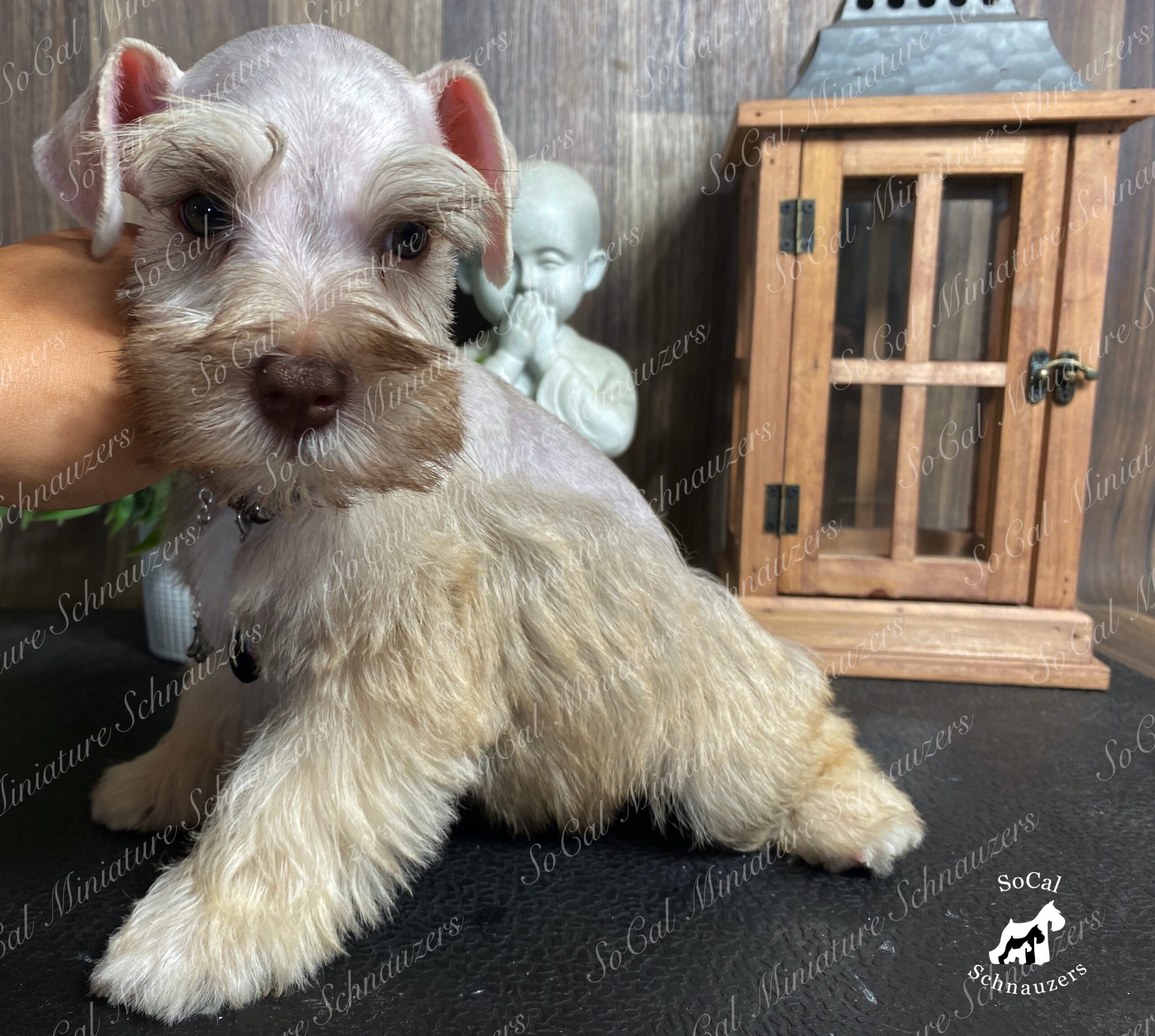 Tiny brown and white schnauzer with statue in background