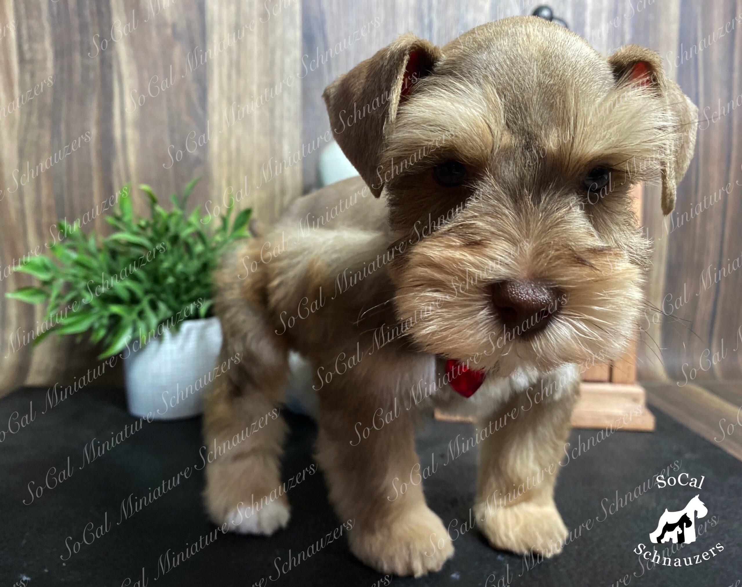 Tiny brown schnauzer puppy with plant