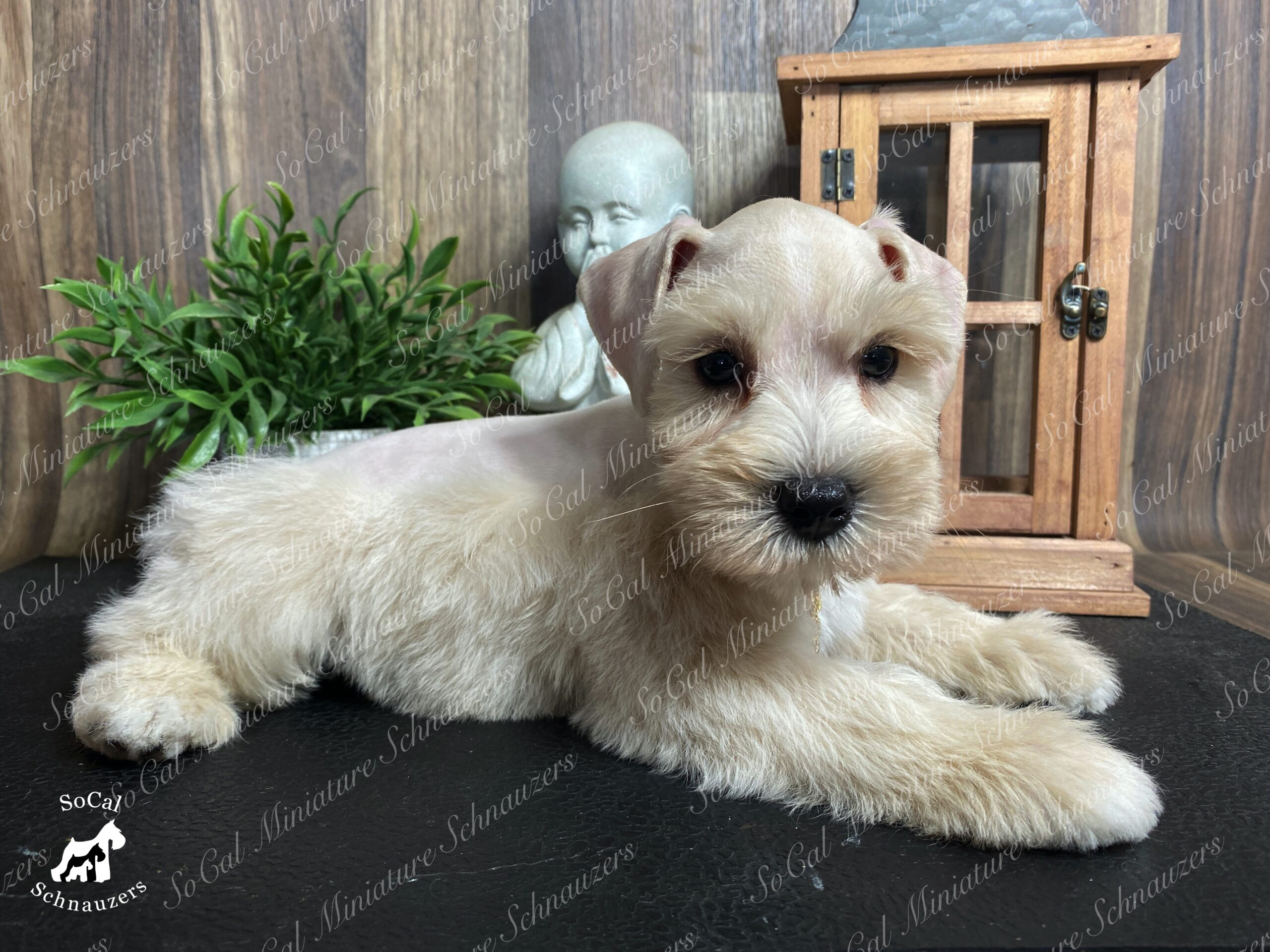 Lightly tanned schnauzer with plant and statue in background
