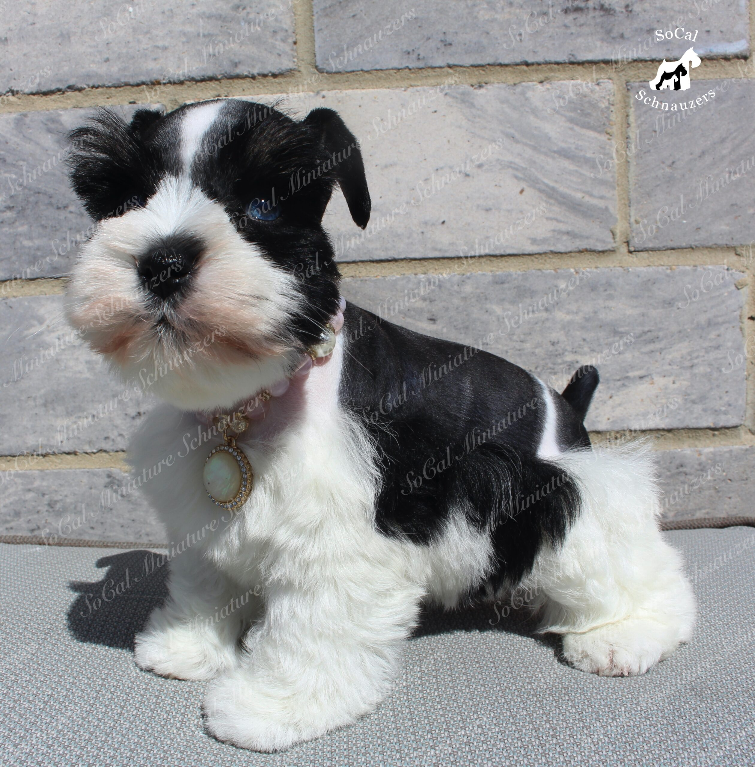 black and white schnauzer with gold and pink necklace