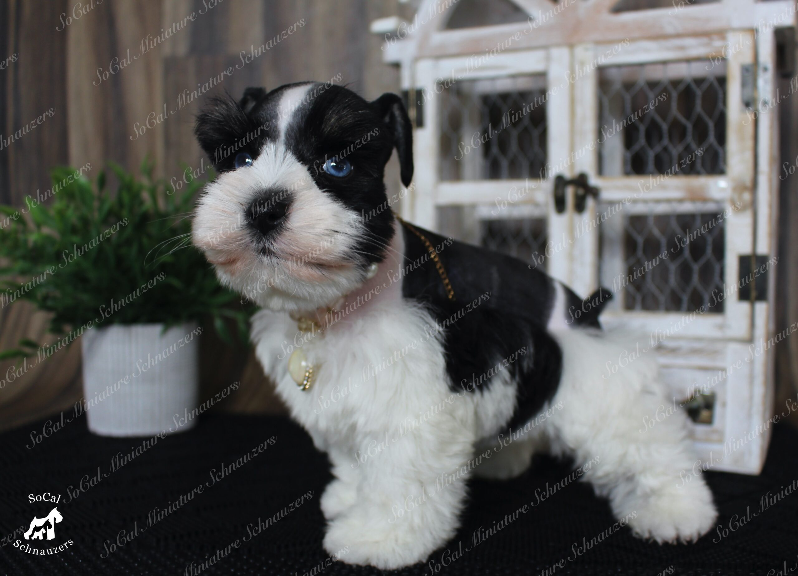 Fluffy black and white Schnauzer with gold necklace