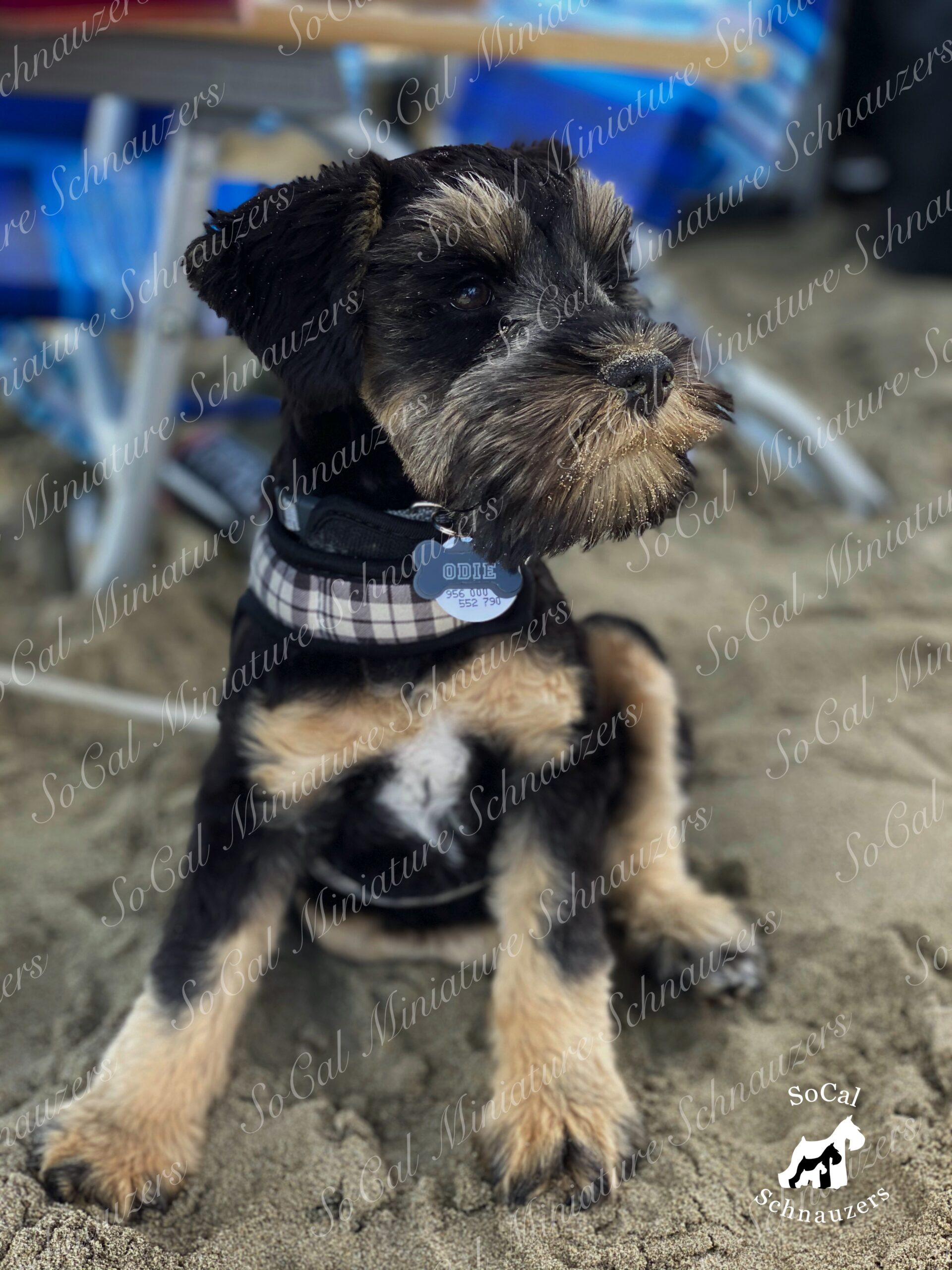 Black and brown schnauzer with plaid collar with bone tag