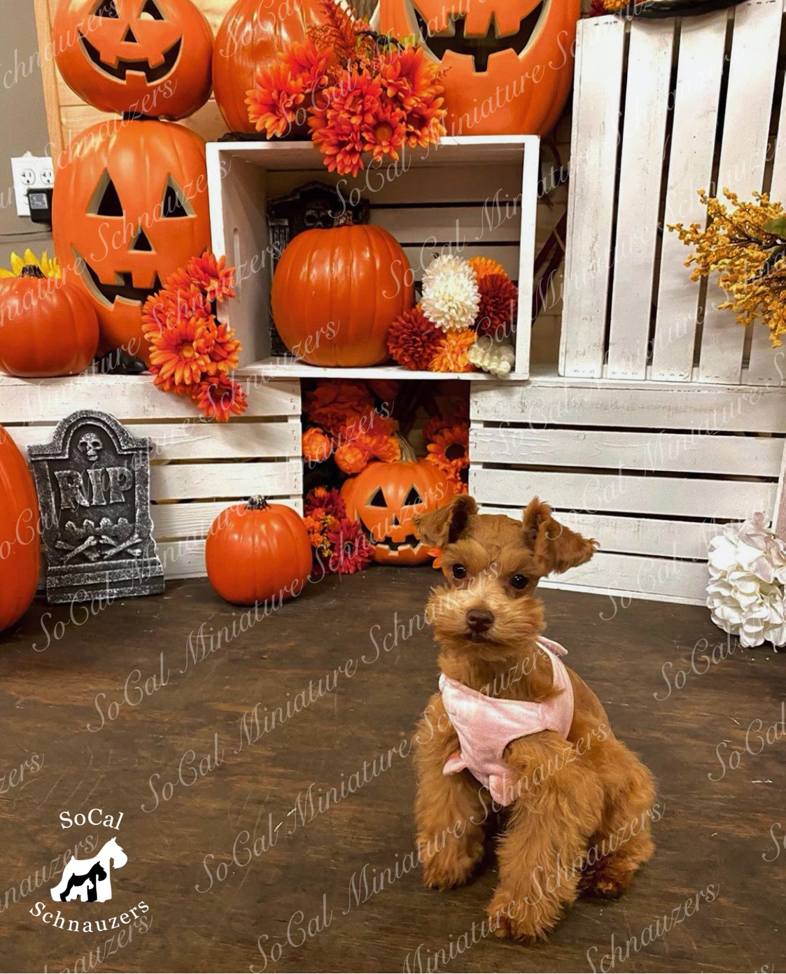 Small brown schnauzer with pink onesie and pumpkins in background