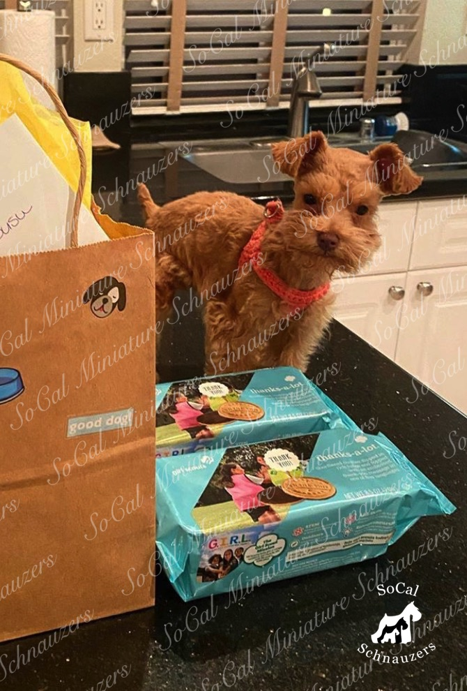 Tiny brown schnauzer with harness in front of girl scout cookies