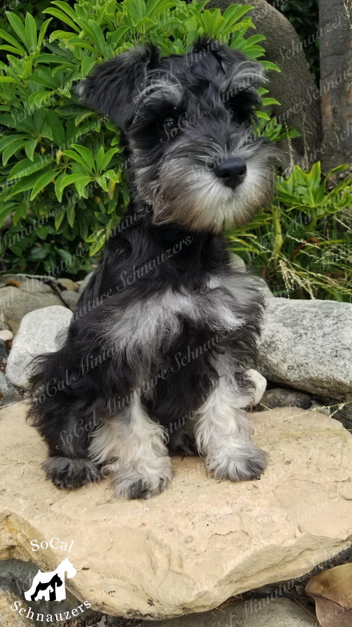 black and white schnauzer with sitting on stone