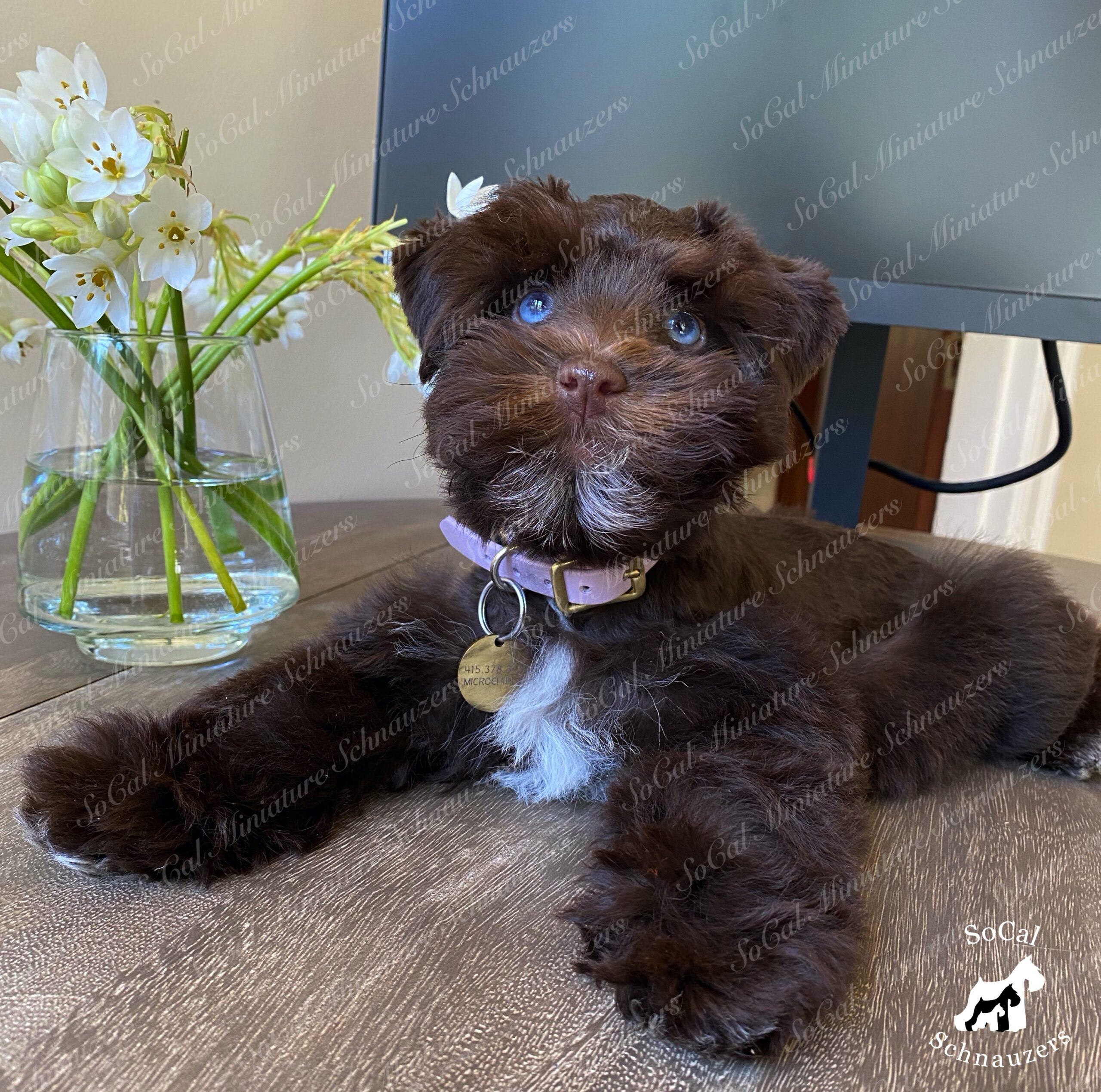 Ice blue eyes with brown schnauzer and flowers in vase