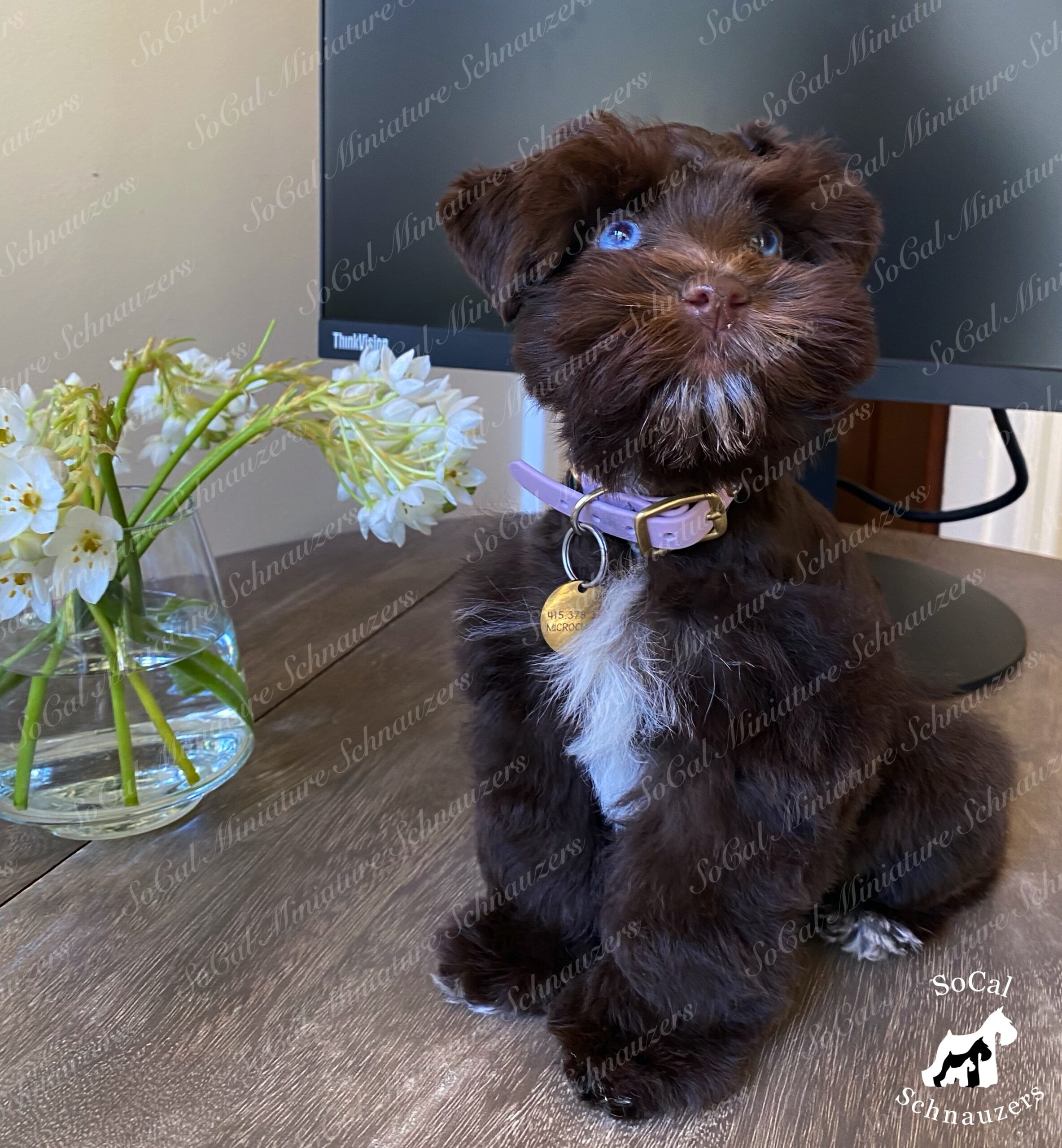 Chocolate brown schnauzer with ice blue eyes and collar
