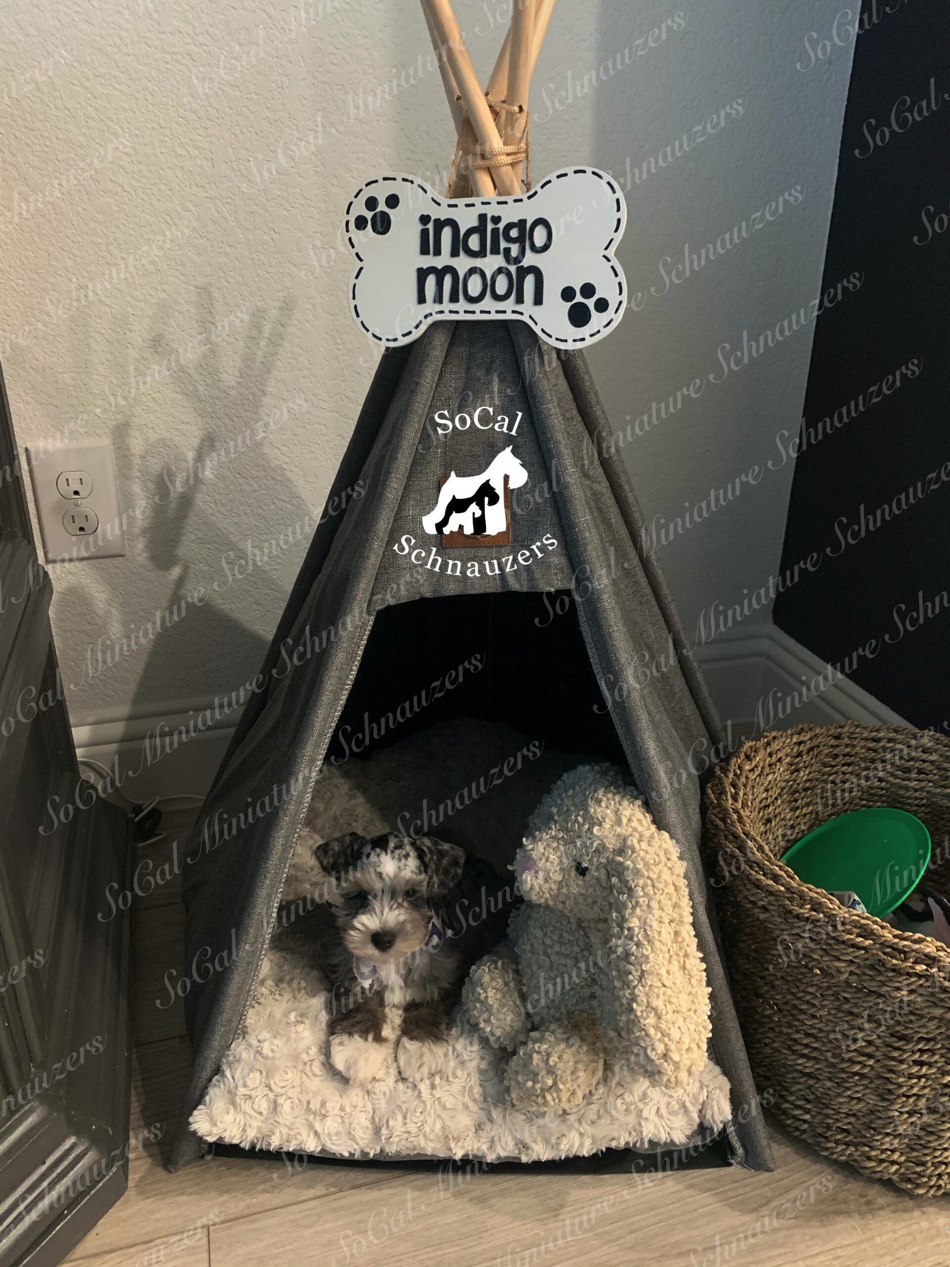 Schnauzer with bunny in tent