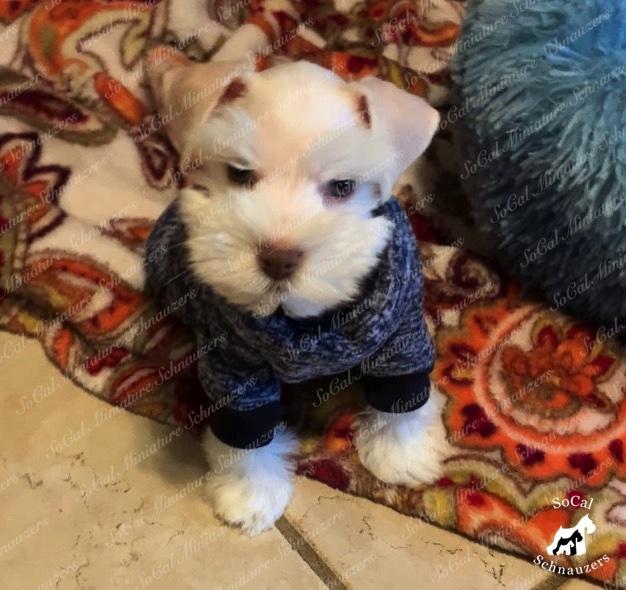 Schnauzer puppy wearing a sweater