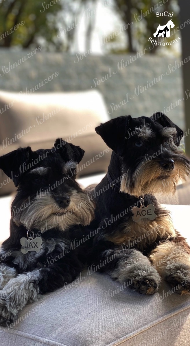 Jack and Ace, two schnauzers sitting side by side