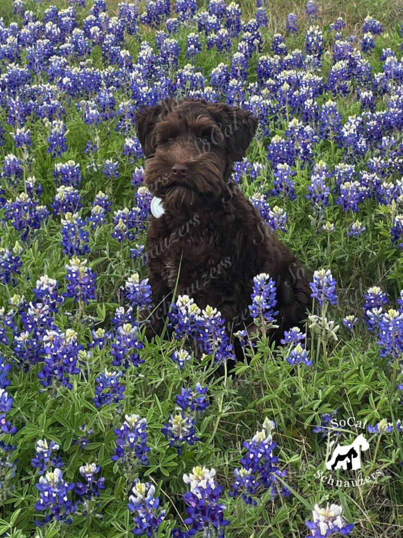 Schnauzer in a field of blue and white flowers