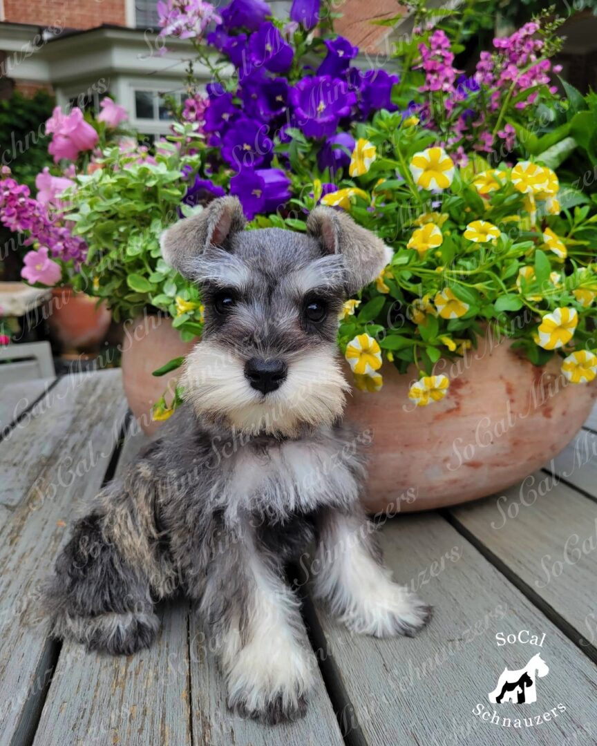 Grey and white schnauzer behind a pot of colorful flowers