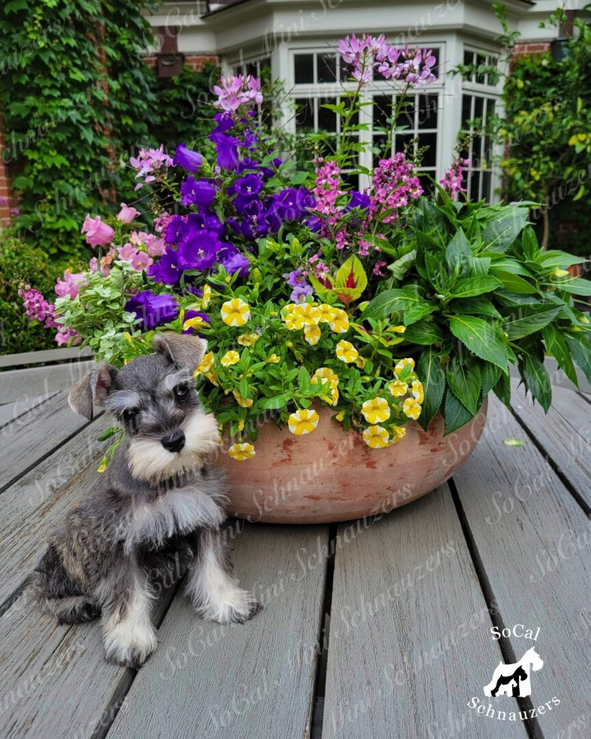 Grey and white schnauzer behind a pot of colorful flowers 2