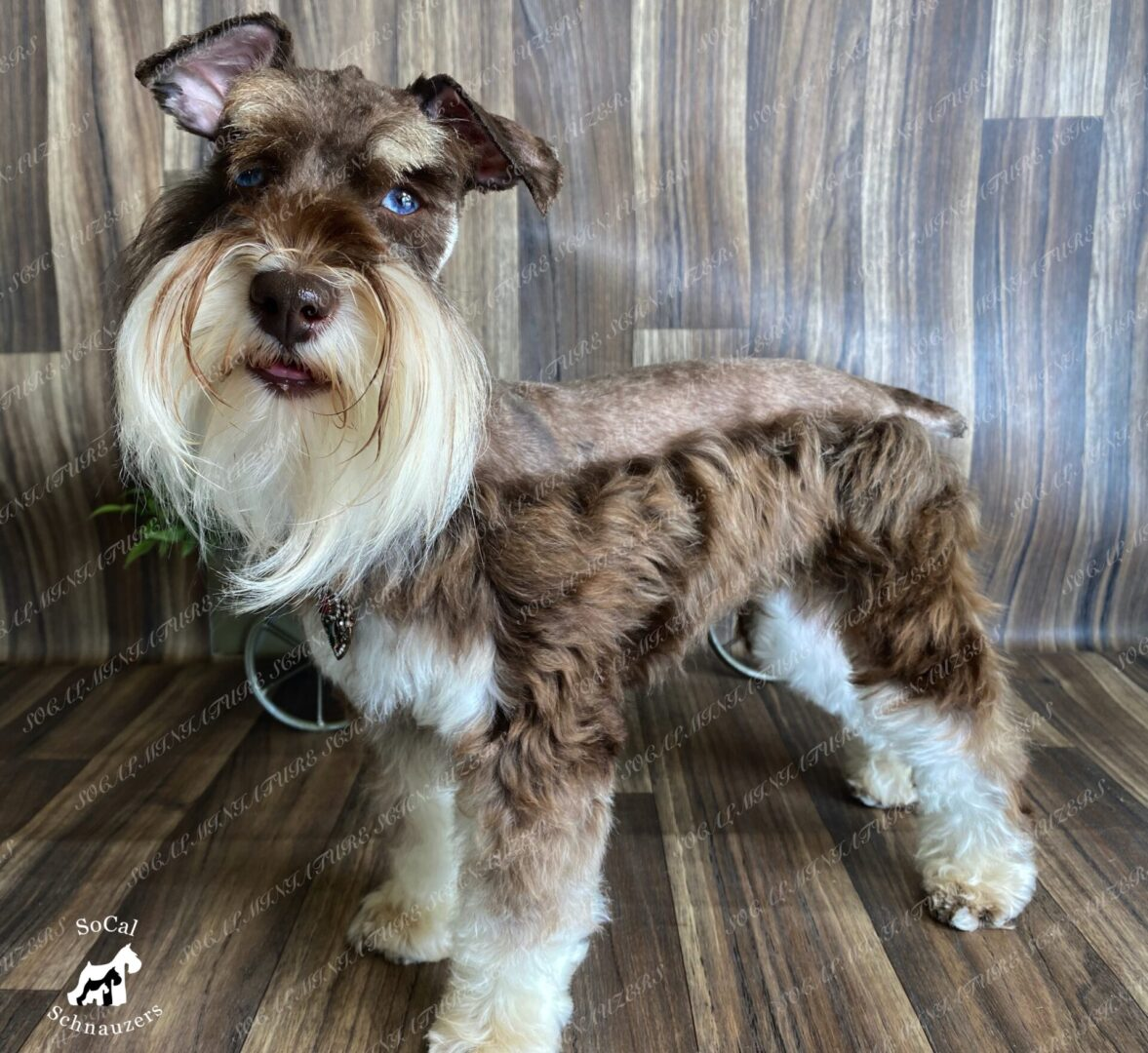 Brown and white schnauzer with blue eyes