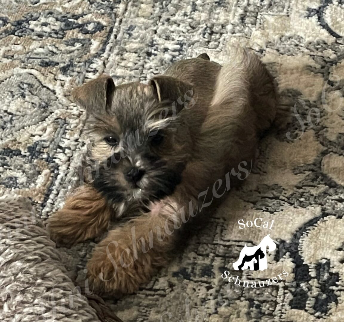 Brown and black schnauzer on rug