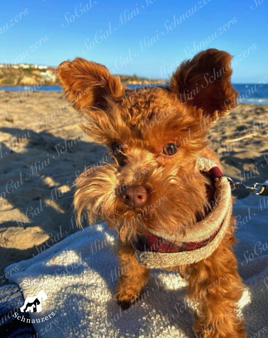 Miniature schnauzer on the beach with a towel