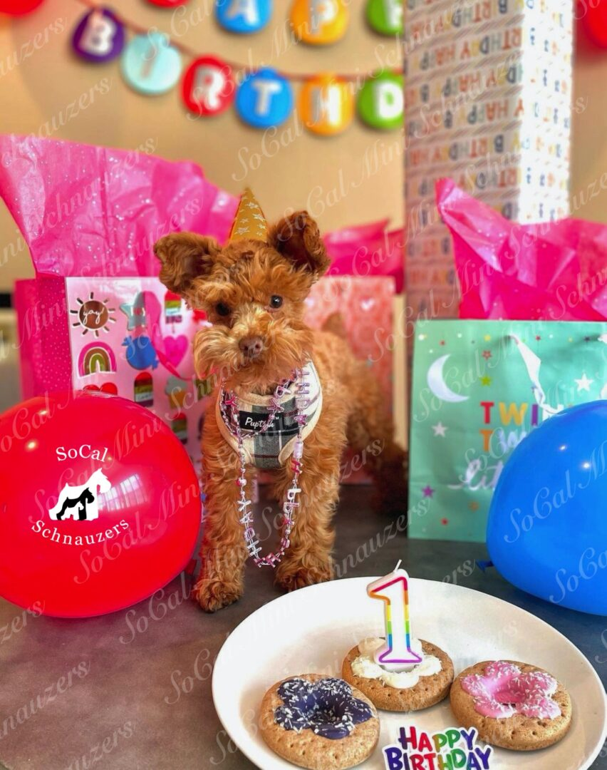 Miniature Schnauzer with a party hat with donuts and a candle