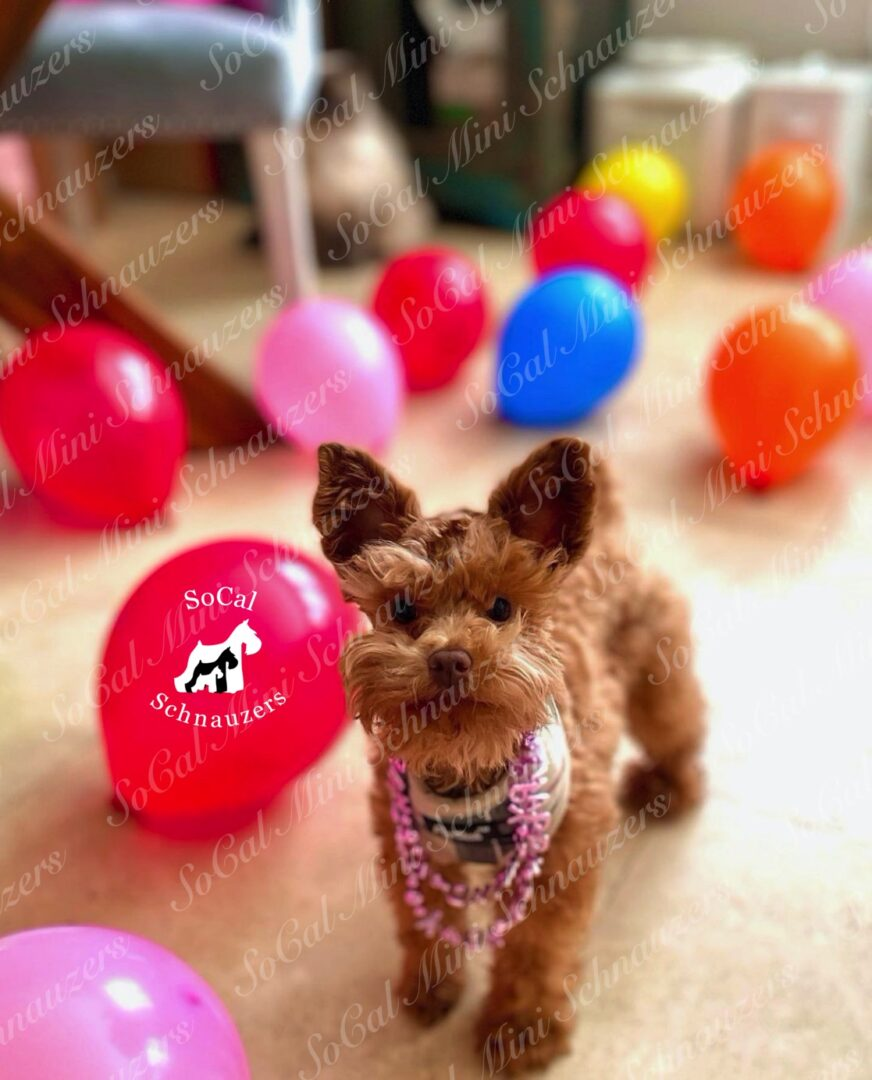 Brown schnauzer with balloons