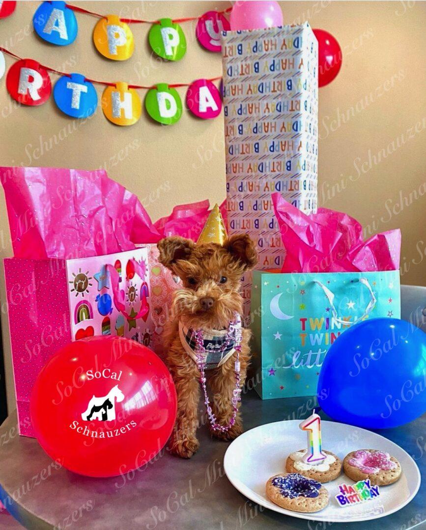 Brown schnauzer celebrating birthday with gifts